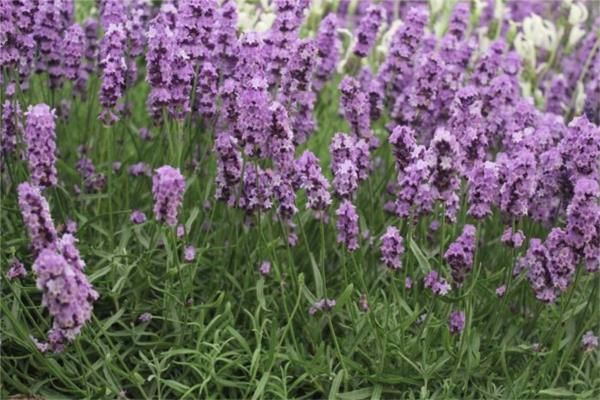 Lavender Production (BHT228)